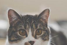 Tips dan Cara Membersihkan Telinga Kucing