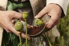 Ketika RI Jual Opium 22 Ton untuk Bayar Gaji Pegawai Pemerintah