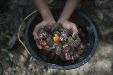 Nasib Petani di Negeri Lumbung Sawit