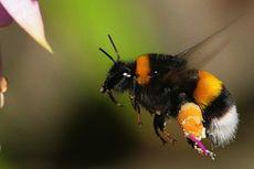Perancis Larang Pembasmian Lebah Penyerbuk Pakai Pestisida