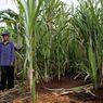Petani Tebu Mengeluhkan Sulitnya Mendapatkan Stimulus dari Pemerintah