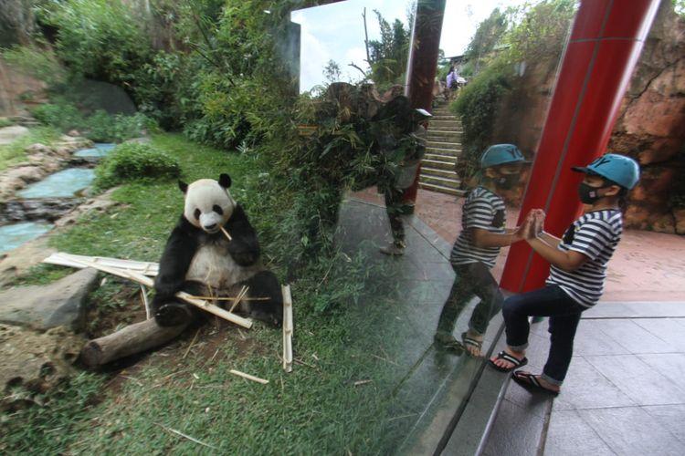 Pengunjung melihat panda di Taman Safari Bogor