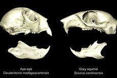 Termasuk Primata, Kenapa Lemur Madagaskar Ini Justru Mirip Tupai?