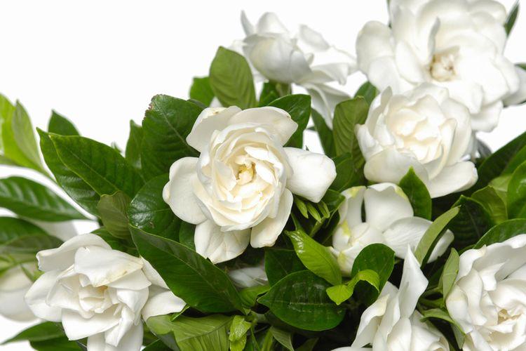 Ilustrasi bunga gardenia.