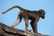 BKSDA Tangsel Diminta Bantu Relokasi Monyet Liar di Kawasan Perumahan Puspiptek