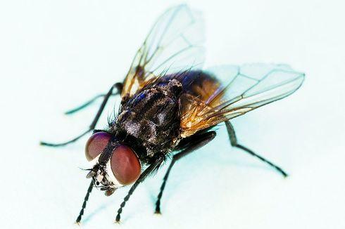 Kamasutra Satwa: Lalat Habiskan Waktu 2 Jam untuk Kawin
