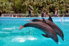 Tempat Wisata di Luar Lembaga Konservasi Dilarang Sajikan Atraksi Lumba-lumba