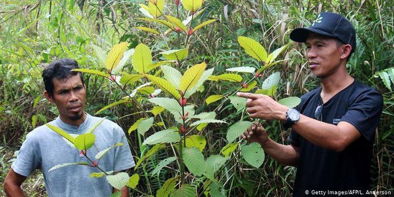Muliadi (kiri gambar) dan Gusti Prabu (kanan) adalah petani kratom di Pontianak, Kalimantan Barat. Gusti Prabu sendiri juga mengonsumsi tanaman kratom dan mengklaim bahwa ia tidak pernah mendapat efek samping negatif. Menurutnya, tanaman ini bisa digunakan untuk membantu menghilangkan kecanduan narkoba dan detoksifikasi.