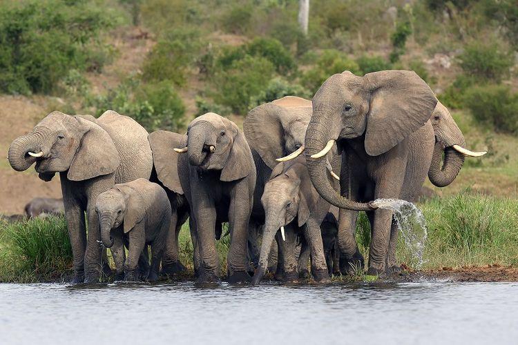 Sekelompok gajah Afrika.