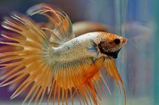 Penyebab Ikan Cupang