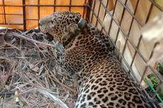 Macan Tutul Diduga Berkeliaran di Gunung Lasem Rembang, KLHK Pasang Kamera Pengintai