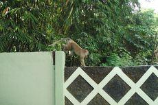 Ramai soal Monyet Ekor Panjang, Ini Penjelasan Taman Nasional Merapi