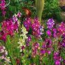 Soal Hukum Mendel: Fenotip Persilangan Dua Bunga dengan Warna Berbeda