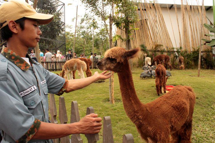 Alpaka atau Vicugna pacos adalah salah satu satwa asal Amerika Selatan yang menjadi koleksi Batu Secret Zoo di wahana wisata Jatim Park 2, Kota Batu, Jawa Timur. Jatim Park 2 menawarkan sensasi pendidikan satwa unik dari berbagai belahan bumi.