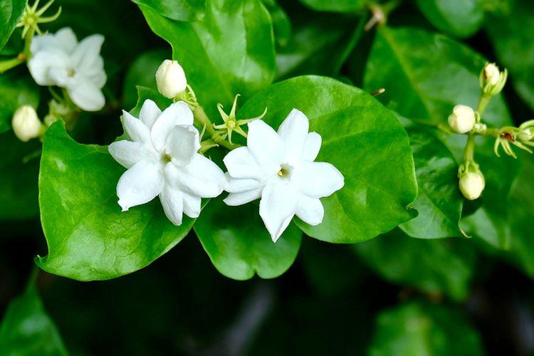 Ilustrasi tanaman bunga melati.