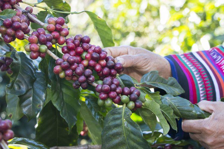Ilustrasi panen kopi