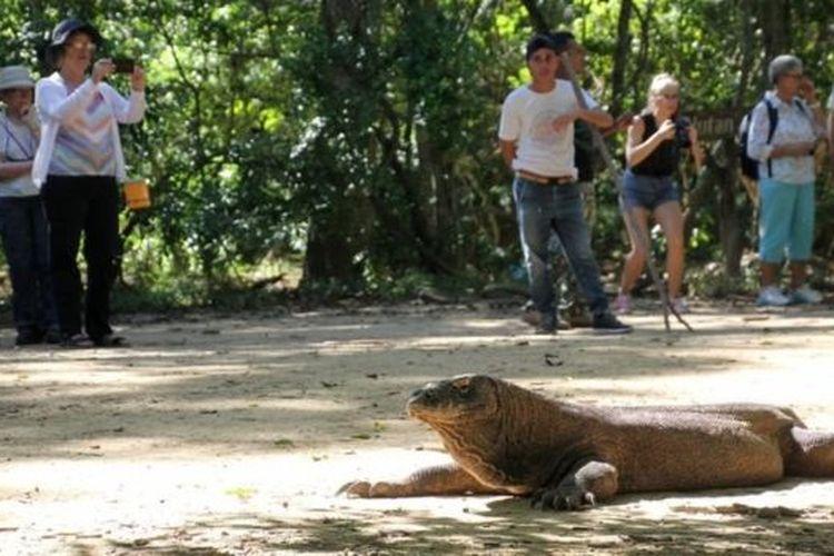 Wisatawan menyaksikan komodo di habitat aslinya