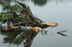 Ratusan Bangkai Babi yang Mengapung di Sungai Bedera Medan Diduga Terserang Virus Kolera