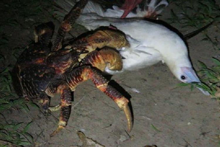 Kepiting kelapa menyambar burung booby yang sedang tidur di dahan pohon