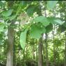 Ciri Khusus Tumbuhan Pohon Jati, Kaktus, dan Bakau