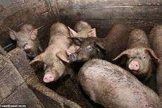 Seorang Pria Hilang, Diduga Tewas Dimakan Babi Peliharaannya