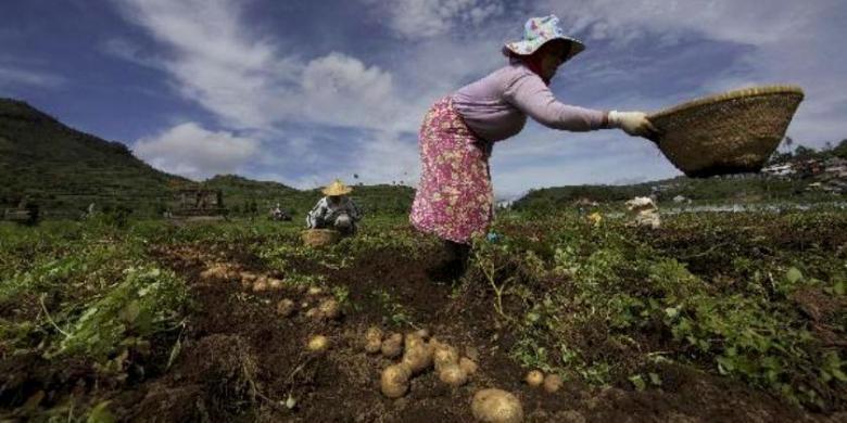 Petani memanen kentang di sekitar Candi Setiyaki di Dieng Kulon, Kecamatan Batur, Kabupaten Banjarnegara, Selasa (27/12). Masuknya kentang Impor dari China menghimpit petani kentang lokal dari dataran tinggi Dieng untuk memperebutkan pasar.