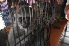 Polisi Gagalkan Penjualan 6 Bayi Lutung, Surili dan Owa Jawa di Ciamis