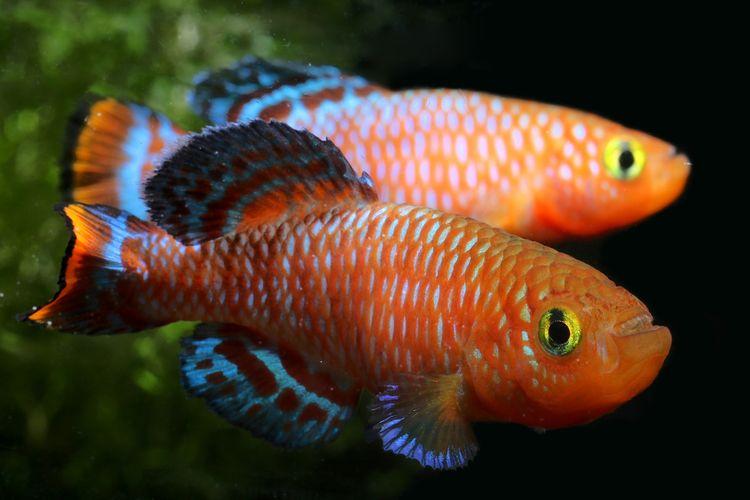 Ilustrasi ikan killifish Afrika