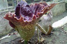 Di Magelang, Bunga Mirip Raflesia Tumbuh di Halaman Rumah