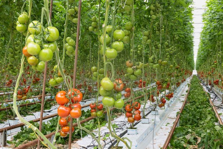Deretan tanaman tomat di sebuah rumah kaca di Belanda. Negeri kecil itu kini merupakan pengekspor utama tomat di dunia.