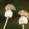 Wabah Tikus Melanda Australia, Ratusan Napi Dievakuasi dari Penjara