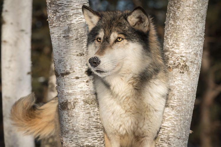 Ilustrasi serigala mengibaskan ekor
