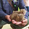 Warga Temukan 2 Anak Kucing Hutan Saat Cari Rumput, BKSDA: Umurnya Kira-kira 1 Bulan...