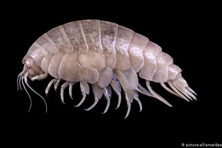 Eurythenes plasticus merupakan hewan baru yang ditemukan di Palung Mariana dengan kedalaman sekitar 6000 meter.