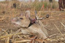 Temukan 71 Ranjau dan Diganjar Penghargaan, Tikus Ini Akhirnya Pensiun