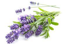 5 Fakta Unik Tanaman Lavender yang Perlu Diketahui