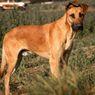 Ras Anjing Besar, Cocok untuk Teman Bermain