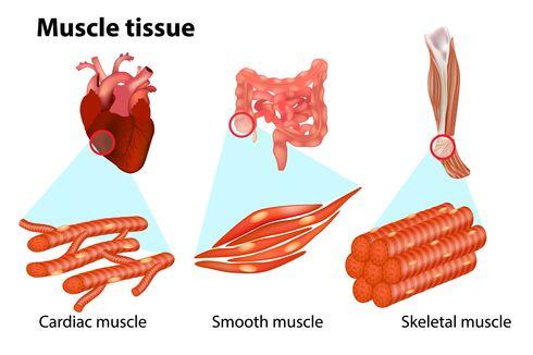 Tiga Jenis Otot pada Manusia
