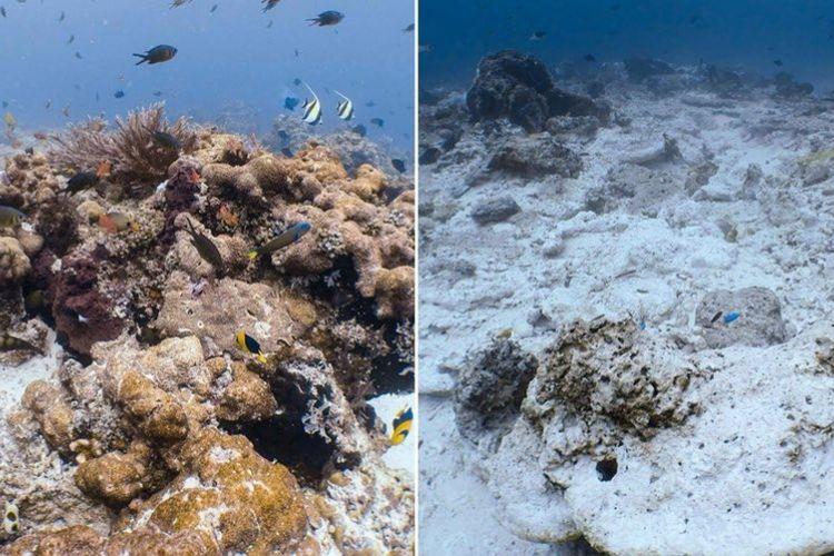 Perbandingan terumbu karang yang sehat (kiri) dengan yang rusak di perairan Raja Ampat.