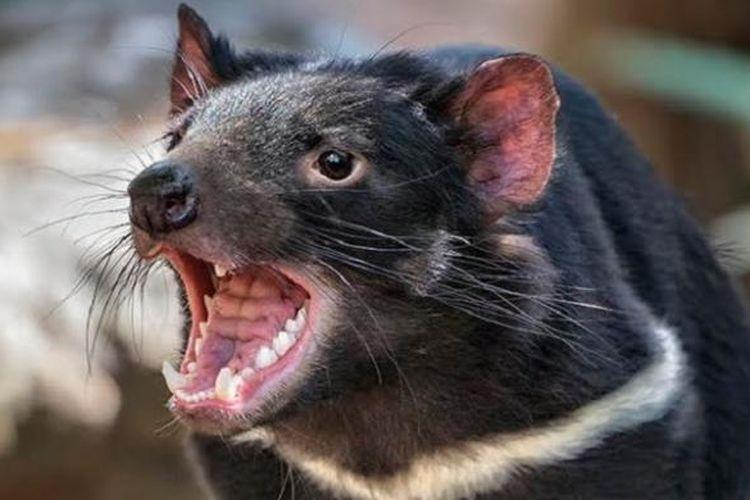 Setan Tasmania (Sarcophilus harrisii)