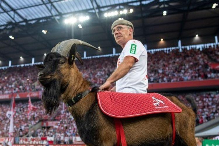 Hennes IX, kambing yang menjadi maskot tim FC Koeln pada pertandingan menghadapi Boriussia Dortmund di Stadion RheinEnergie, 23 Agustus 2019.