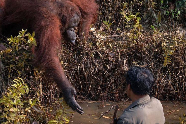 Inilah momen menyentuh ketika seekor orangutan mengulurkan tangan ke arah seorang pria di Borneo. Gambar tersebut diambil pakar geologi sekaligus fotografer amatir asal India, Anil Prabhakar.