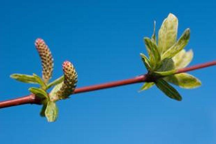 Salix integra adalah tanaman jenis semak yang tergolong mampu bertahan terhadap banjir.