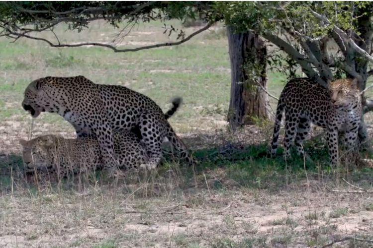 Seekor macan tutul pejantan kawin dengan dua betina sekaligus