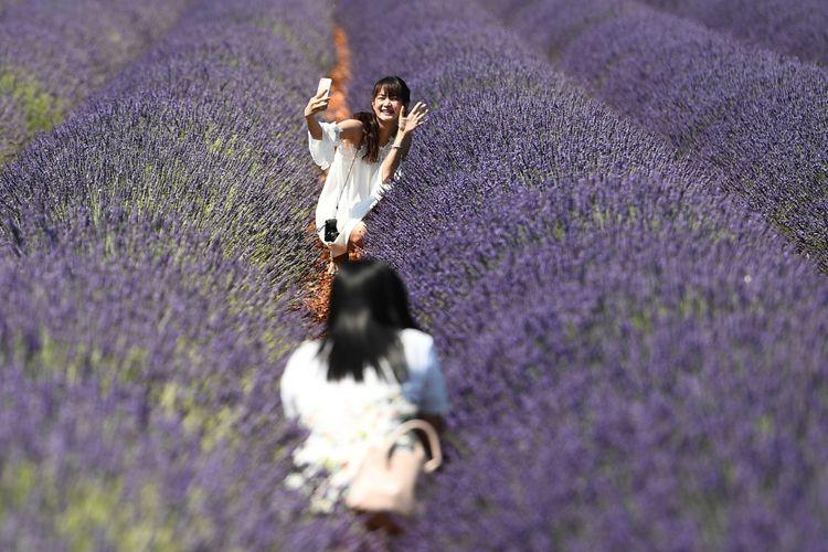 Turis mengambil foto diri atau selfie di tengah kebun lavender di Valensole, Perancis selatan, 18 Juni 2017.