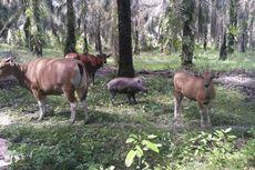 Heboh Anak Babi Makan Rumput dan Menyusu pada Sapi, Rumah Pemilik Dikunjungi Banyak Orang