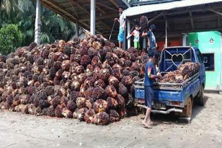 Buah kelapa sawit melimpah sementara harga murah Rp 500 per kg. Selanjutnya daya tampung pabrik CPO di Seluma masih rendah