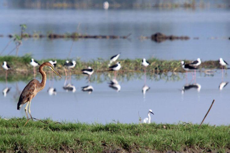Sejumlah burung air mencari makan di pinggiran Danau Limboto. Kegiatan Asian Waterbird Census 2018 yang diikuti pengamat burung di Gorontalo menemukan peningkatan jumlah dan jenis dibanding periode yang sama tahun sebelumnya.