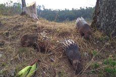 30 Landak Jawa di Lepas ke Alam Liar dalam Rangka Hari Cinta Puspa