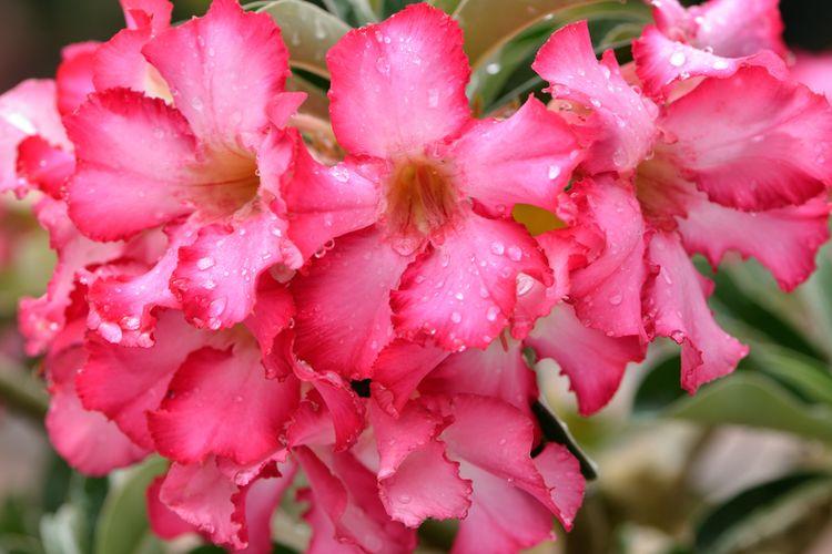 Ilustrasi bunga desert rose atau kamboja jepang atau adenium.